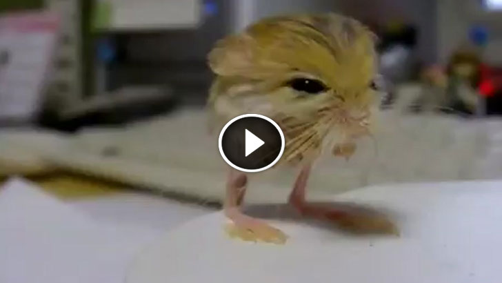 This Adorable Creature Is A Pygmy Jerboa. It Looks Like A Pokemon, And I'm In Love!
